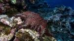 Acanthaster planci Crown of Thorns SeaStar3 DMS
