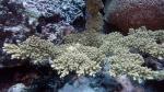 Acropora florida2 DMS