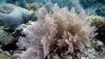 Aglaophenia cupressina DMS