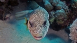 Arothron hispidus Whitespotted pufferfish1 DMS