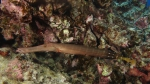 Aulostomus chinensis ChineseTrupetfish1 DMS