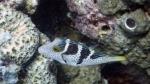 Canthigaster valentini SaddledSharpnosePuffer2 DMS