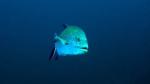 Caranx melampygus Bluefin travely1 DMS