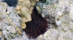 Echinometra mathaei Math sea urchin DMS