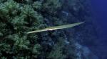 Fistularia commersonii Bluespotted cornetfish DMS