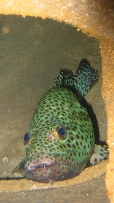 Greasy grouper Epinephelus tauvina1 DMS