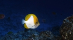 Hemitaurichthys polylepis PyramidButterflyfish DMS