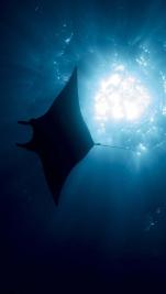 Manta birostris Giant manta ray4 DMS