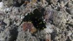 Notodoris gardineri GardinersNotodoris1 DMS