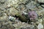 Novaculichthys taeniourus Rockmover wrasse1 Intermediate DMS