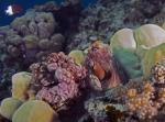 Octopus cyanea Reef octopus2 DMS