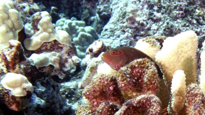 Paracirrhites arcatus ArcEyeHawkfish2 DMS