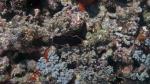 Pseudobiceros gloriosus GloriousFlatworm DMS