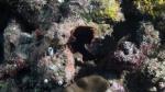 Pseudobiceros gloriosus GloriousFlatworm1 DMS