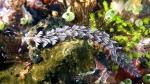 Pteraeolidia ianthina BlueDragon1 DMS