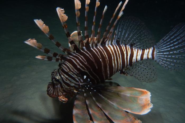 Red lionfish Pterois volitans DMS