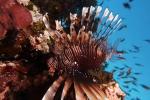 Red lionfish Pterois volitans1 DMS