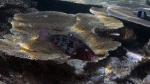 Scarus robroviolaceus EmberParrotfish3 DMS