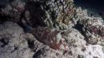 Scarus rubroviolaceus EmberParrotfish1 DMS