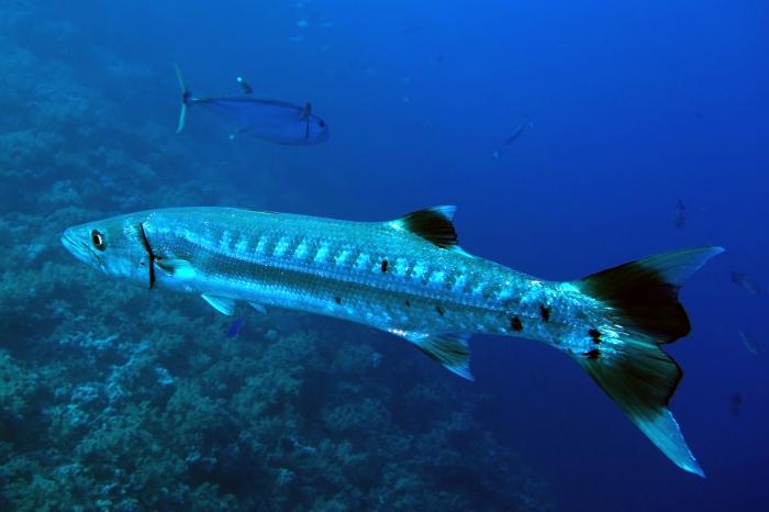 Sphyraena barracuda Great barracuda DMS