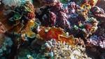 Taenianotus triacanthus LeafScorpionfish DMS