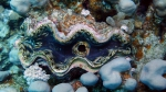 Tridacna maxima Small giant clam DMS