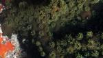 Tubastraea micranthus MidnightCoral closeup DMS