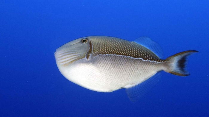 Xanthichthys caeruleolineatus BlueLinedTriggerfish DMS