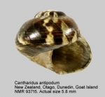 Cantharidus antipodum