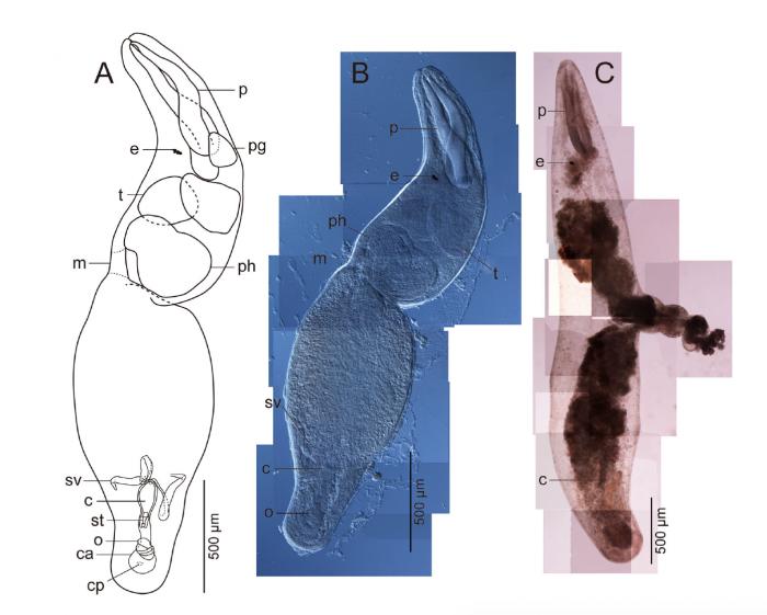 Proschizorhynchella shuttlecock sp. nov.