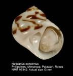 Naticarius concinnus