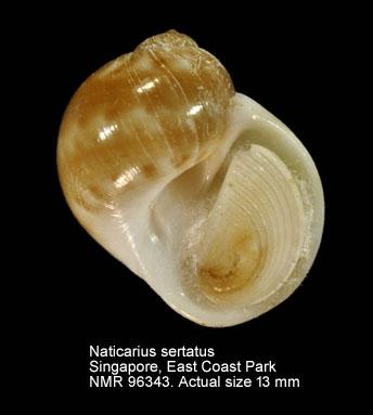 Naticarius sertatus