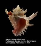Babelomurex ricinuloides