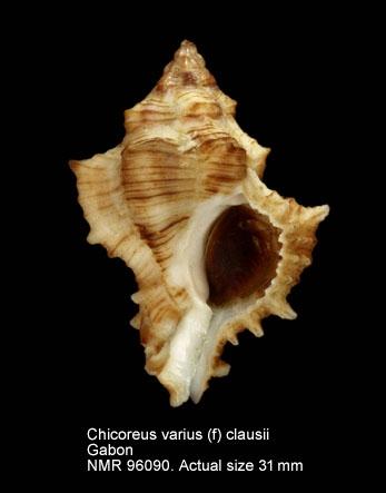 Chicoreus varius