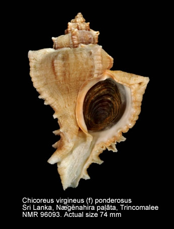 Chicoreus virgineus