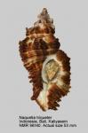 Naquetia triqueter