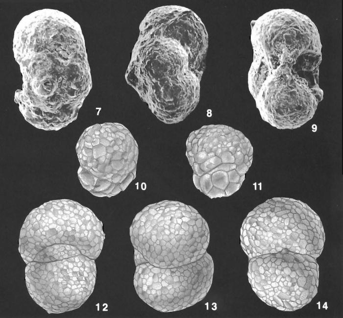 Ammosphaeroidina sphaeroidiniformis (Brady) identified specimen