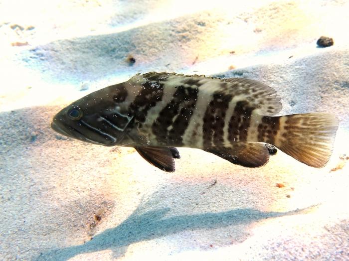 Epinephelus aeneus