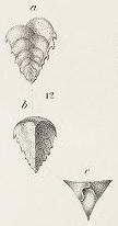 Verneulina spinulosa Reuss, 1850
