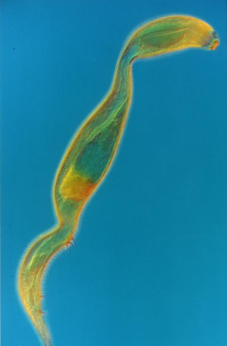 Dracograllus cornutus