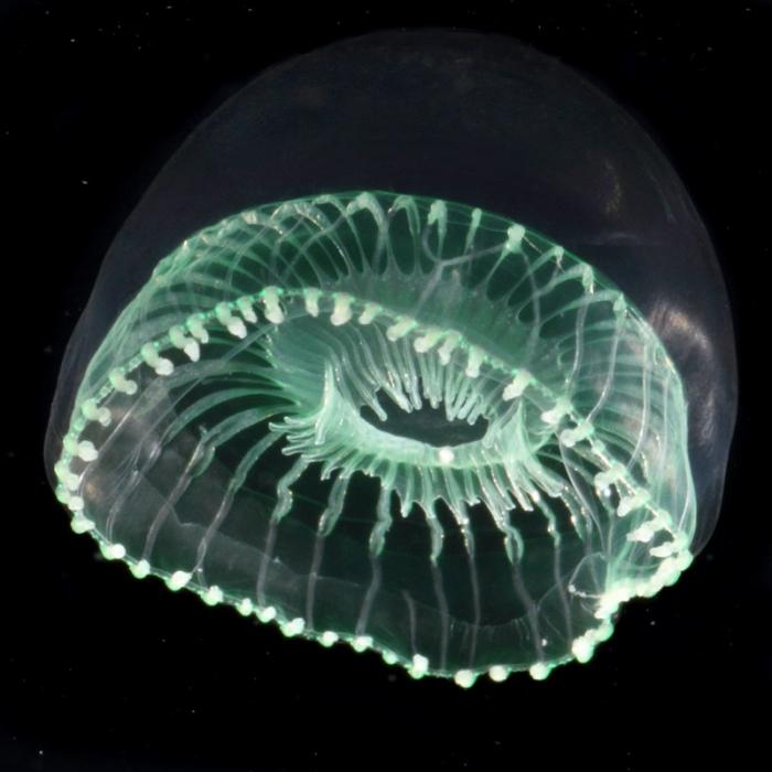 Aequorea globosa medusa from mouth of Brunswick River, New South Wales, Australia