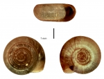 Bathyomphalus contortus shell