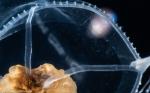 Larsonia pterophylla medusa, from Florida, Eastern Atlantic