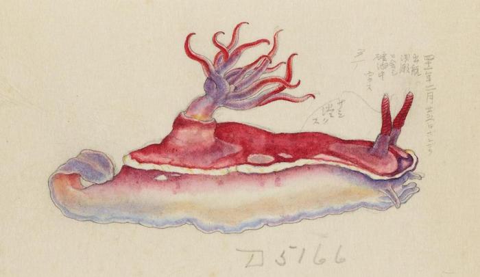 Hypselodoris rositoi, drawing by Kumataro Ito