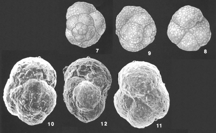 Paratrochammina challengeri Bronnimann & Whittaker identified specimen