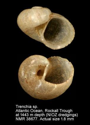 Xyloskenea naticiformis