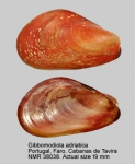 Gibbomodiola adriatica