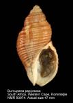 Burnupena papyracea