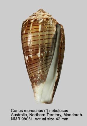 Conus monachus