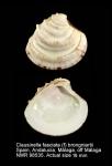 Clausinella fasciata